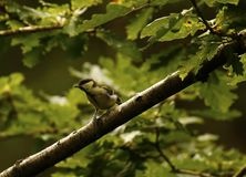 Woodland Great Tit. Hunting for food Royalty Free Stock Photo