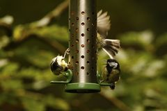 Woodland Great Tit. Hunting for food on a hanging peanut feeder Stock Image