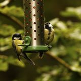 Woodland Great Tit. Hunting for food on a hanging peanut feeder Stock Photo