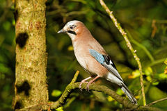 The Woodland Jay Royalty Free Stock Photo