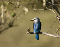 Woodland Kingfisher Royalty Free Stock Photos