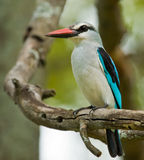 Woodland Kingfisher Royalty Free Stock Photography
