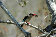 Woodland kingfisher. At Kruger National park, South Africa Royalty Free Stock Photos