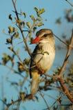 Woodland Kingfisher. In Kruger National Park South Africa Stock Image