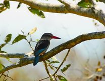 Woodland kingfisher. In fevertree. Kruger National park, South Africa Royalty Free Stock Photo