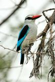 Woodland Kingfisher. Perched on a branch Stock Photo
