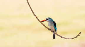 Woodland Kingfisher bird perched on a branch. Colorful woodland kingfisher bird resting on a branch Stock Photo