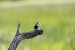 Woodland Kingfisher on branch Royalty Free Stock Image