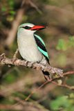 Woodland Kingfisher Stock Photos