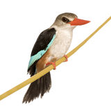 Woodland Kingfisher - Halcyon senegalensis Stock Photo