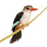Woodland Kingfisher - Halcyon senegalensis stock photo