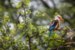 Woodland kingfisher in Lake Manyara national park, Tanzania.  Royalty Free Stock Images