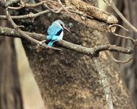 Woodland kingfisher looking right royalty free stock images