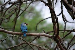 Woodland kingfisher Royalty Free Stock Photos