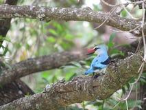 Woodland Kingfisher Stock Photo