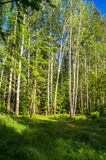 Vibrant summer landscape. Mixed forest on the sunny day. Woodland of Moscow region is a great place for communication with nature and relaxation. Vibrant colors Royalty Free Stock Photos