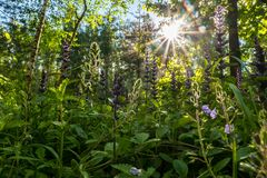 Blinding radiant sunlight through fresh lush greenery of summer forest. Woodland of Moscow region is a great place for communication with nature and relaxation Stock Image