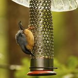 Woodland Nut Hatch. Hunting for food on a hanging peanut feeder Stock Images