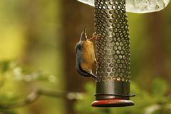 Woodland Nut Hatch. Hunting for food on a hanging peanut feeder Royalty Free Stock Photo