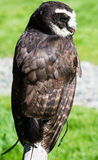Woodland Park Owl Royalty Free Stock Images