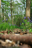 Woodland Path. A low angled image of Spring Bluebells in a wooded area looking towards a leaf strewn pathway through the wood. Focus on middle distance of path Royalty Free Stock Photo