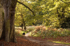 Woodland Path in Autumn Royalty Free Stock Images
