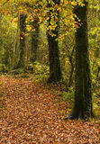 Woodland Path in Autumn. Woodland path covered in fallen autumn leaves Stock Images