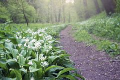 A woodland path in spring, with wild garlic flowers Allium ursinum carpeting the ground. With the background deliberately out of focus royalty free stock photos