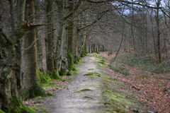 Woodland path. Winter woodland path surrounded but moss and bracken Royalty Free Stock Image