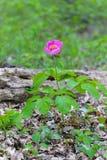 Woodland Peony flower Stock Photography