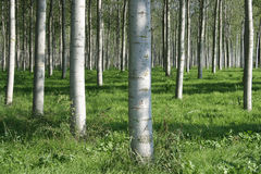 Woodland Poplars Royalty Free Stock Photo