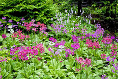 Woodland Primula Royalty Free Stock Photos