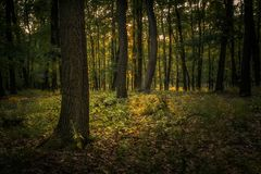 Woodland with a prominent tree. In foreground during summer day Royalty Free Stock Photo