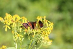 Woodland Ringlet Butterlies, Erebia medusa Royalty Free Stock Images