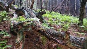 Woodland. Rotting tree trunk amongst ferns Stock Photography