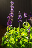 Woodland sage (salvia nemorosa) Stock Images