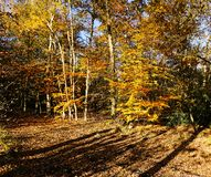 Woodland scene. In autumn with birch and beech trees Royalty Free Stock Image