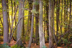 Woodland scene in autumn fall. Stock Images