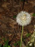 Woodland Scene of a Dandelion Gone to Seeds. A dandelion gone to seeds with a woodland background located in the Blue Ridge Mountains of Virginia USA royalty free stock images