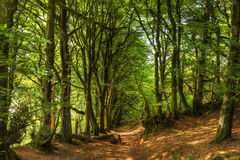Woodland scene with green trees and path in copse in HDR Stock Photo