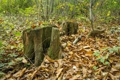 Landscape shot of tree stumps surrounded by autumn leaves. Woodland scene showing decaying tree stumps surrounded by autumn leaves Stock Images