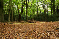 Woodland scene at the start of autumn Royalty Free Stock Photography