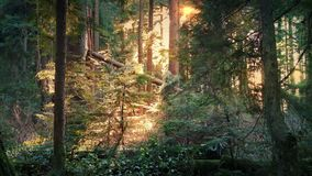 Peaceful Forest Lit Up In Afternoon Sun. Woodland scene with sunlight shining through the trees stock footage