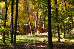 Woodland scene with yellow and brown autumn leaves Stock Images