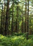 Woodland Scenic. In dappled sunlight Stock Photo