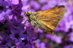 Woodland Skipper on Purple Heliotrope Stock Photography