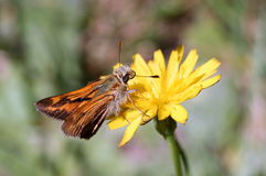 Woodland Skipper on a Yellow Flower Stock Images