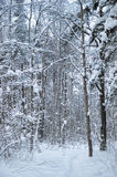 Woodland snow scene Stock Photography