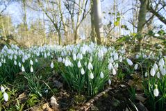 Woodland snowdrops in February. Snowdrops or Galanthus growing in woodland in Norfolk during early February stock image