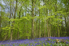 A woodland in Spring with bluebells, Hyacinthoides non-scripta, England, UK Royalty Free Stock Photos